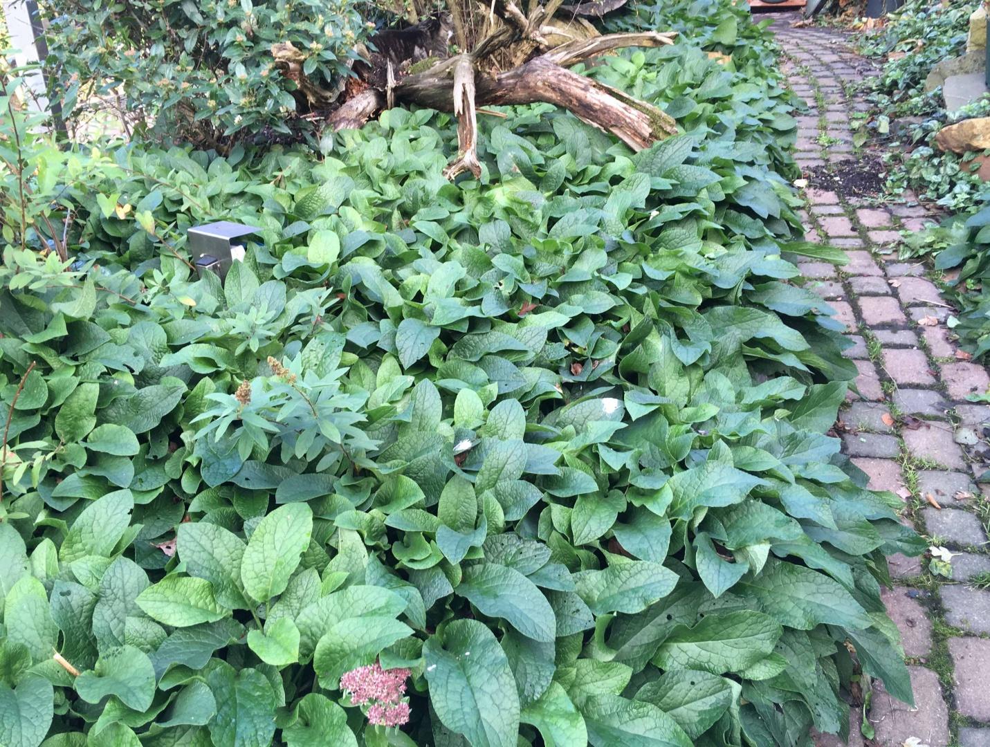 Herbstliche Beinwellpflanzung im Biogarten
