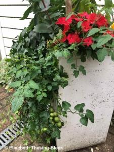Tomaten als Zierpflanzen